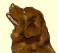 newfoundland-dog