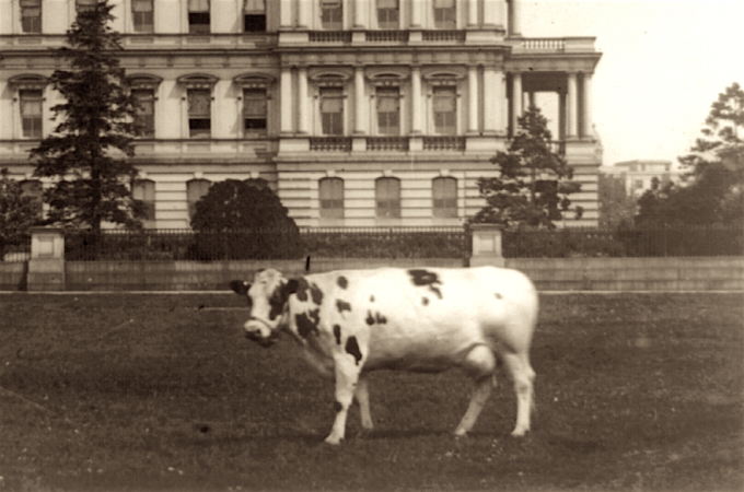 President Taft's cow Pauline Wayne poses in front of the State, War and Navy Building. Pauline provided milk and butter for the First Family. (Library of Congress photo)