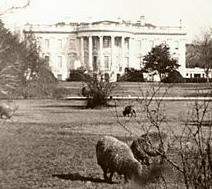 sheep-at-white-house-1920