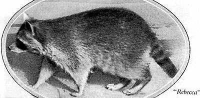 rebecca-raccoon