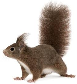 ranger-bush-squirrel