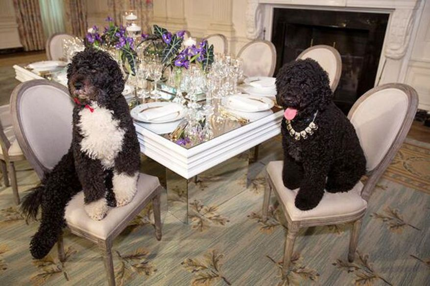 Bo and Sunny, dressed for a State Dinner, January 2016.
