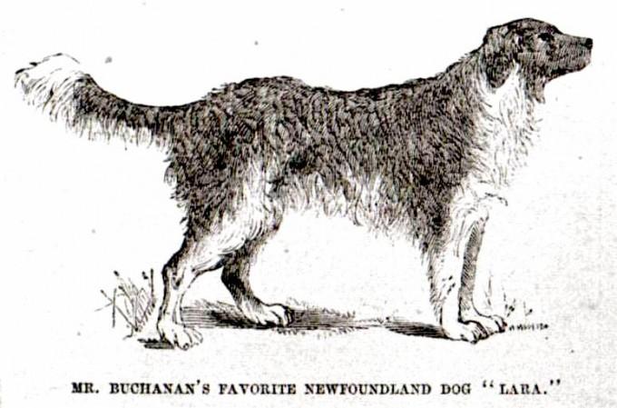 Lara-buchanan-newfoundland-dog