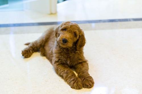 Patton is a 9-week-old goldendoodle puppy. (Photo: Lois Pope)